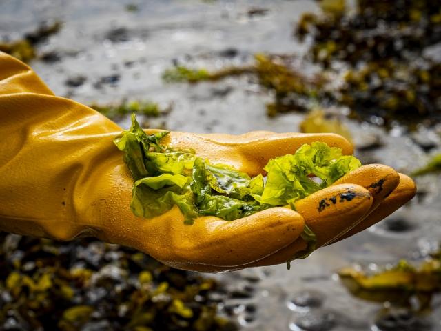 Uasua Soap collecting seaweed